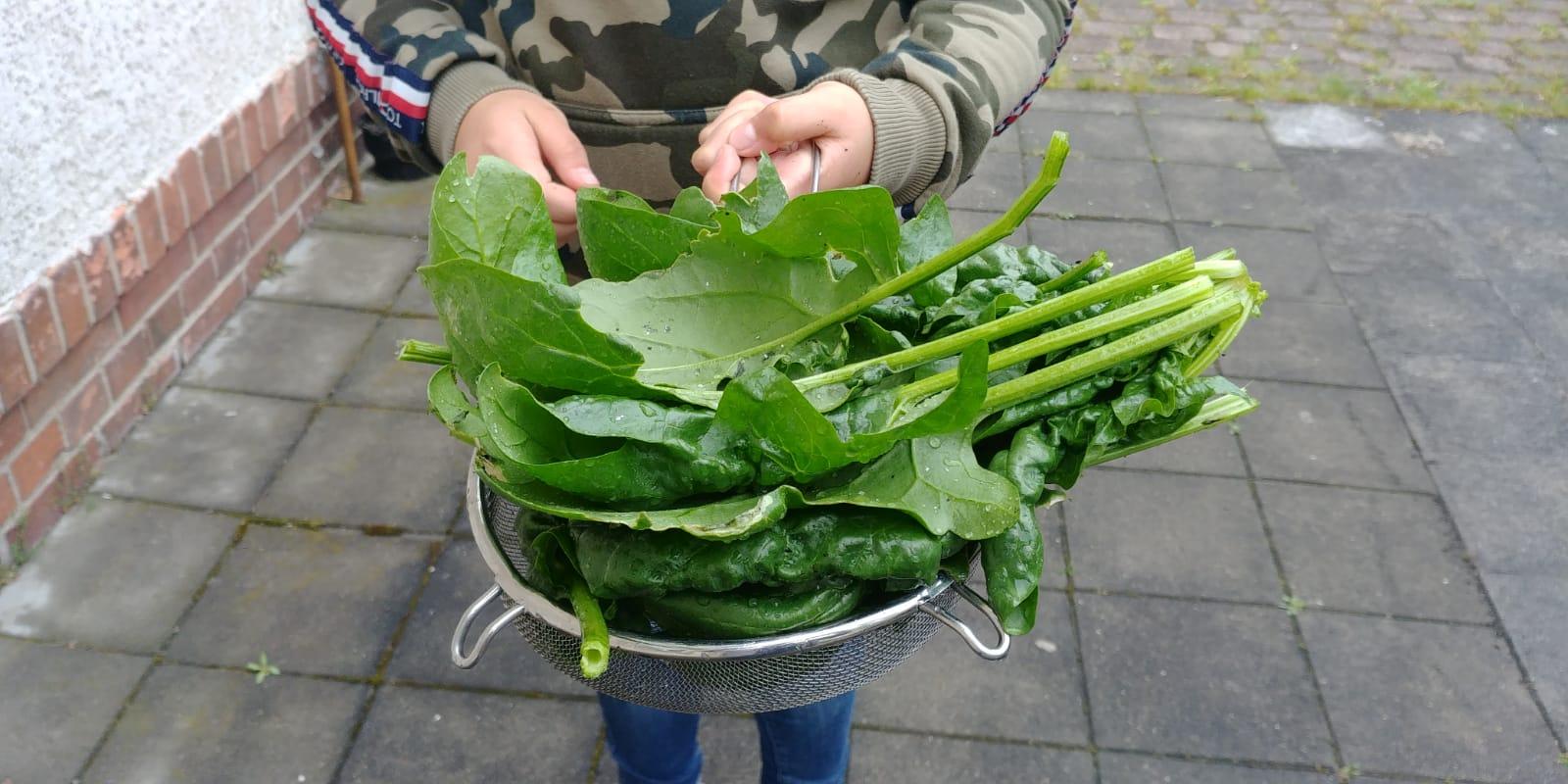 """Unsere erste Ernte...Spinat! Na ja, erst waren die Gartenzwerge und Küchengeister skeptisch, aber bei uns gilt die Regel """" wenigstens etwas probieren!""""."""